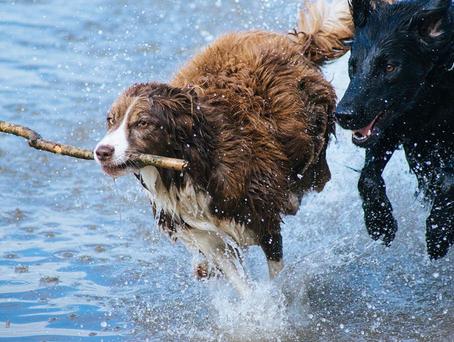Dogs running in water